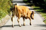 Monterosso Almo ordinanza shock, chiesto l'abbattimento di animali vaganti. Arriva la diffida del NOITA