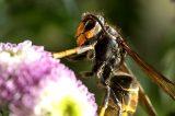 Allerta. La Vespa Velutina, l'invasione avanza anche in Toscana. Pericolosa per le api e per l'uomo