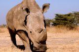 Kenya, muore Sudan l'ultimo rinoceronte bianco. Simbolo del disprezzo umano per la natura