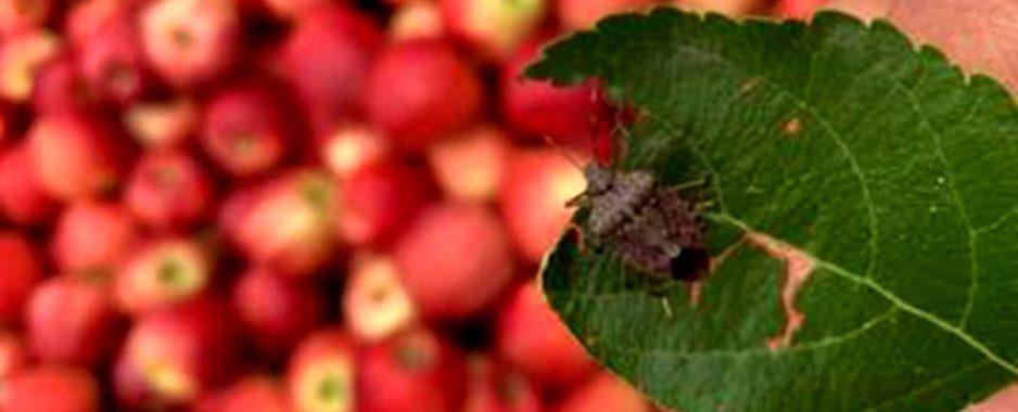 Cimice asiatica. Identificati in Trentino due insetti antagonisti per la lotta biologica